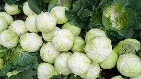 Cabbage farming at Cameron Highlands, Malaysia. Cabbage ready to process at Cameron Highlands, Malaysia Stock Photos