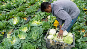 Cabbage farming at Cameron Highlands, Malaysia. CAMERON HIGHLANDS, MALAYSIA - 10TH MARCH 2015;Unidentifiable workers pick green cabbage in a farm at Cameron Stock Image