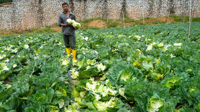 Cabbage farming at Cameron Highlands, Malaysia. CAMERON HIGHLANDS, MALAYSIA - 10TH MARCH 2015; Unidentifiable workers pick green cabbage in a farm at Cameron Royalty Free Stock Photos