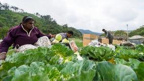 Cabbage farming at Cameron Higlands, Malaysia. CAMERON HIGHLANDS, MALAYSIA - 10TH MARCH 2015; Workers prepare cabbage ready to process at Cameron Highlands Stock Image