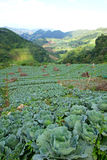 Cabbage farmland Royalty Free Stock Images