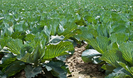 Cabbage field. Field of young cabbage. Leaves are backlit so their nerves are visible Royalty Free Stock Image
