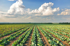 Cabbage field. Cabbage growing in a row on the field Royalty Free Stock Images