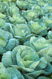 Cabbage field. Photo of cabbage green field Stock Photos