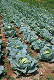 Cabbage field Stock Photos