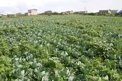 Cabbage on the field Royalty Free Stock Photo