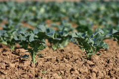 Cabbage field Stock Photography