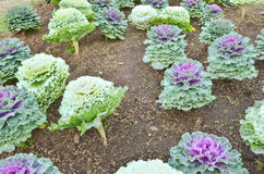 Cabbage in the field Stock Image