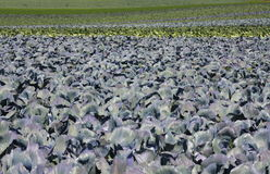 Cabbage Field Royalty Free Stock Photo