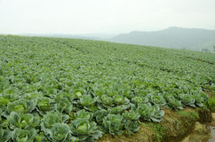 Cabbage field. Stock Photos
