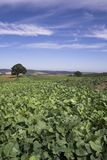 Cabbage Field. View of a cabbage field looking East towards Alnwick, Northumberland stock image