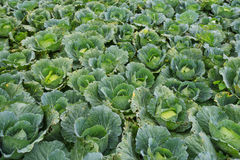 Cabbage field on background Stock Photo