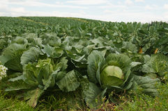 Cabbage field. The close up of cabbages on the field royalty free stock images
