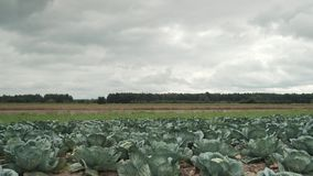 Cabbage field, cloudy dark day in the distance you can see the forest. stock video
