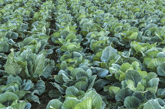 Cabbage field. Stock Images