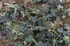 Cabbage field, damaged. A damaged cabbage field, background royalty free stock photography