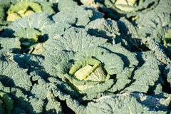 Cabbage on a field Royalty Free Stock Image