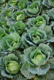 Cabbage field. royalty free stock photo