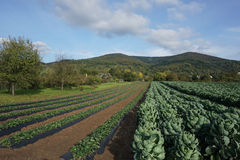 Cabbage field Royalty Free Stock Image