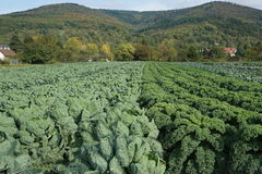 Cabbage field Royalty Free Stock Photography