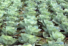 Cabbage field. Green Cabbage field in nature Royalty Free Stock Image