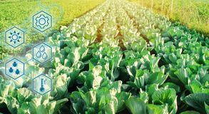 Cabbage in the field. High technologies and innovations in agro-industry. Study quality of soil and crop. Scientific work and vector illustration