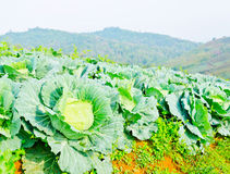 Cabbage field on the hill and mountain background Royalty Free Stock Photo