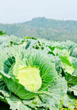 Cabbage field on the hill and mountain background. Cabbages field on the hill and mountain background Stock Images