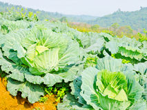 Cabbage field on the hill and mountain background. Cabbages field on the hill and mountain background Royalty Free Stock Images