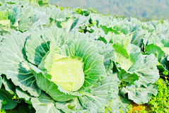 Cabbage field on the hill and mountain background Royalty Free Stock Image