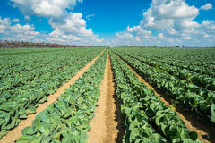 Cabbage field Royalty Free Stock Photos