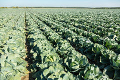 Cabbage field. Royalty Free Stock Image