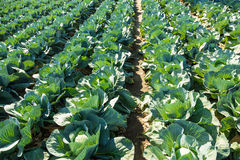 Cabbage field. Royalty Free Stock Photos