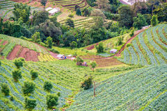 Cabbage field in mon jam mountain Stock Photography