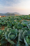Cabbage field in the morning. Stock Image