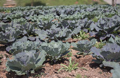 Cabbage field. Royalty Free Stock Images