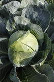 Cabbage. On a  field outside royalty free stock photos
