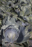 Cabbage. On a  field outside stock photo