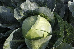 Cabbage. On a  field outside stock image
