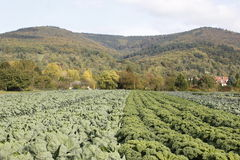 Cabbage. On a  field outside stock images
