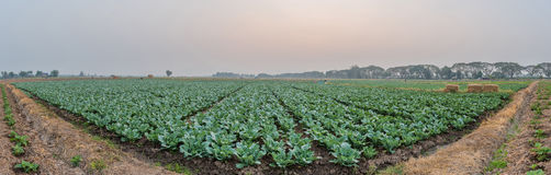 Cabbage field in panorama at dawn Royalty Free Stock Photography
