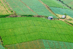 Cabbage field in Phetchabun, Thailand Royalty Free Stock Photography