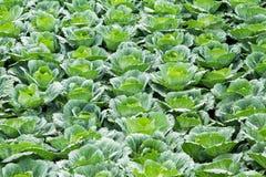 Cabbage field on Phu Tab Berk hill Stock Photography