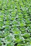 Cabbage field on Phu Tab Berk hill Royalty Free Stock Image