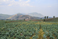 Cabbage field. At Phu Tabberk, Thailand Royalty Free Stock Images