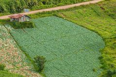 Cabbage field at Phu Tub Berk, Petchabun, Thailand Royalty Free Stock Photos