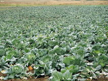 Cabbage field Stock Images