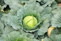 Cabbage field ready for harvesting Royalty Free Stock Photo