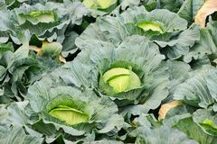 Cabbage field ready for harvesting Stock Photo