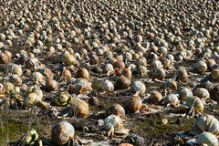 Cabbage field rotted Stock Photo